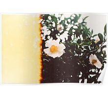 White Camellia Blossom Poster