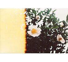 White Camellia Blossom Photographic Print