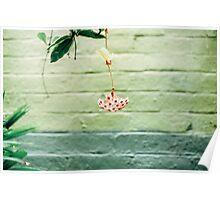 Hoya Blossom Poster