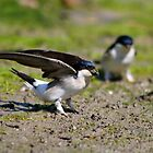 House Martins collecting mud by GreyFeatherPhot
