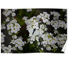 White Butterfly & White Flowers Poster