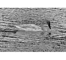 Trumpeter Swan (BW) Photographic Print
