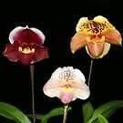 Orchid Threesome (Paphiopedilum) by vette