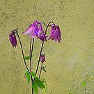 Purple Aquilegia by Fara