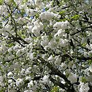 Beautiful White Blossoms by BlueMoonRose