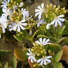 A pretty 'Hand' native flower growing on the bare sandstone cliff! by Rita Blom