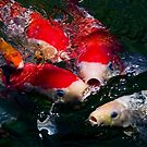 Koi feeding frenzy by Celeste Mookherjee