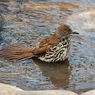 Long-billed Thrasher Takes a Bath by Robert Kelch, M.D.