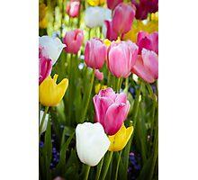 Pink White Yellow Tulips Photographic Print