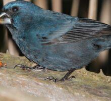 Male Blue-Black Grosbeak Sticker
