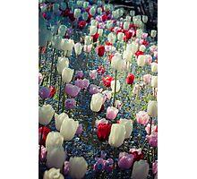 Tulip Fields Photographic Print