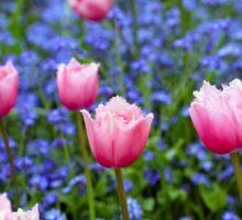 Pink Tulips in Blue Sticker