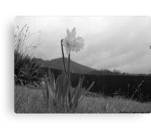 the black and white daffodil Canvas Print