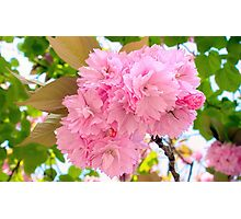 Pink Double Cherry Blossoms Photographic Print