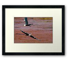 Flying Egrets Framed Print