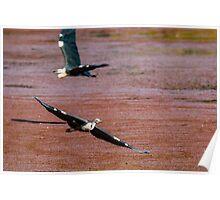 Flying Egrets Poster