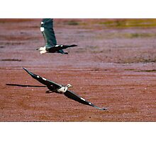 Flying Egrets Photographic Print
