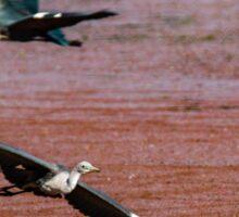 Flying Egrets Sticker