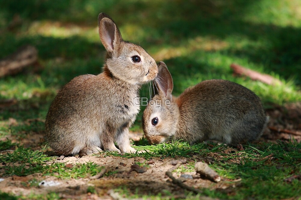 Baby Rabbits by CBoyle