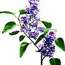 Spray of Lilacs by Susan Savad
