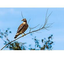 Red Shouldered Hawk at Celery Fields Photographic Print