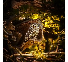 Little owl Photographic Print