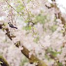 Bird in the Cherry Blossoms by vividpeach