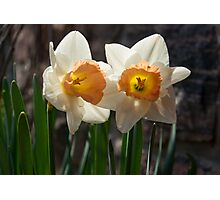 In Conversation - a Couple of Daffodils Huddled Together Photographic Print