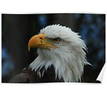 American Bald Eagle With Turned Head Poster
