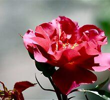 Cinco De Mayo Rose by autumnwind