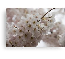 A Branch of Pale Pink Sakura Cherry Blossoms - Longing for Spring Canvas Print
