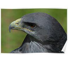 Black Chested Buzzard Eagle Poster