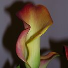 Indoor Canna Lily by lezvee