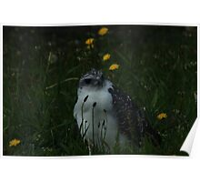 Gray Backed Hawk Poster