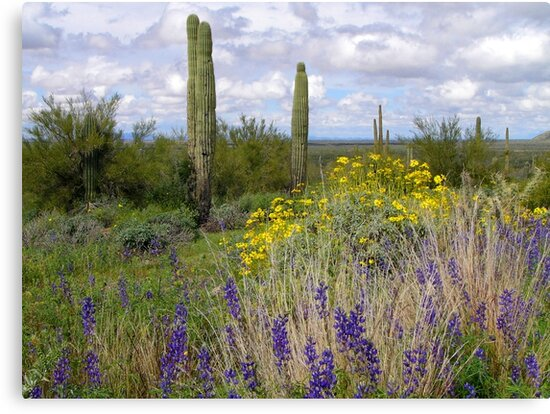 Picacho Peak Wildflowers by Lucinda Walter