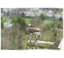 Ornate Hawk Eagle on a Perch Poster