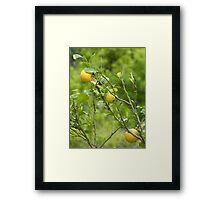 Lemon Tree Framed Print