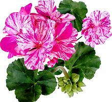 Two Pink and White Striped Geraniums by Susan Savad