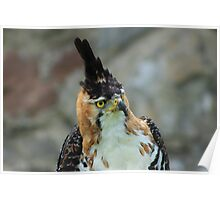Ornate Hawk Eagle Poster