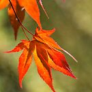 Japanese Maple Leaves  by M.S. Photography/Art