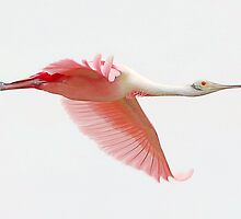 Roseate Spoonbill by SuddenJim