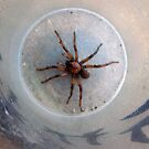Large Agressive Spiders on front porch. Adelaide hills. by Rita Blom
