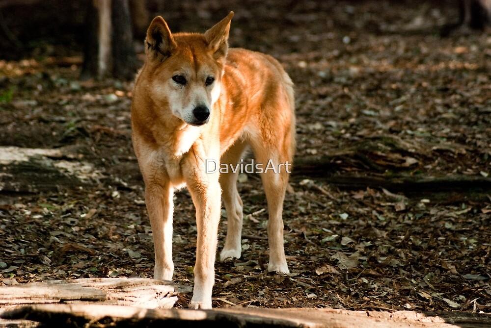 0131 Australian Dingo by DavidsArt
