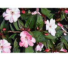 Pink flowers on green leaves. Photographic Print