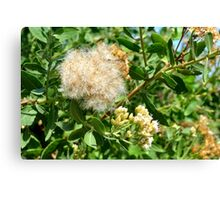 Beautiful fluffy flower and green leaves in the park. Canvas Print