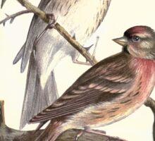 Familiar wild birds Swaysland 1883 V1 221 Red Polls Sticker