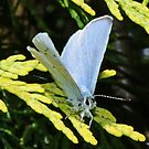 Holly Blue Butterfly by AnnDixon