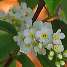 Blossoms by copperhead