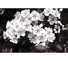 Bridal Wreath ( Black and White Panting ) Photographic Print