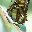 Butterfly by Jen Wahl